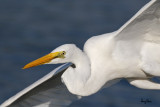 Great Egret (Egretta alba, migrant)   Habitat - Uncommon in a variety of wetlands from coastal marshes to ricefields.   Shooting Info - Sto. Tomas, La Union, Philippines, November 21, 2015, EOS 7D MII + EF 400 DO IS II + EF 1.4x TC III,  560 mm, f/7.1, 1/2500 sec, ISO 320, manual exposure in available light, hand held, 8.6 MP crop resized to 1575 x 1050.