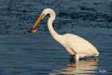 Great Egret (Egretta alba, migrant)   Habitat - Uncommon in a variety of wetlands from coastal marshes to ricefields.   Shooting Info - Sto. Tomas, La Union, Philippines, November 21, 2015, EOS 7D MII + EF 400 DO IS II + EF 1.4x TC III,  560 mm, f/7.1, 1/2000 sec, ISO 320, manual exposure in available light, hand held, 11.8 MP crop resized to 1575 x 1050.