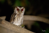 Philippine Scops-Owl (Otus megalotis, endemic)