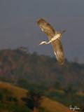 Grey Heron (Ardea cinerea, migrant)   Habitat - Uncommon in wetlands.   Shooting Info - Sto. Tomas, La Union, Philippines, November 30, 2015, EOS 7D MII + EF 400 DO IS II + EF 1.4x TC III,  560 mm, f/7.1, 1/2000 sec, ISO 640, manual exposure in available light, hand held, 7.4 MP crop resized to 1000 x 750.