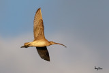 Far Eastern Curlew (Numenius madagascariensis, migrant) 