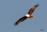 Brahminy Kite (Haliastur indus, resident)   Habitat - Open areas often near water, and also in mountains to 1500 m.   Shooting Info - Sto. Tomas, La Union, Philippines, November 21, 2015, EOS 7D MII + EF 400 DO IS II + EF 1.4x TC III,  560 mm, f/7.1, 1/2000 sec, ISO 320, manual exposure in available light, hand held, major crop resized to 1500 x 1000.