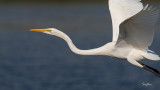 Great Egret (Egretta alba, migrant)   Habitat - Uncommon in a variety of wetlands from coastal marshes to ricefields.   Shooting Info - Sto. Tomas, La Union, Philippines, November 11, 2015, EOS 7D MII + EF 400 DO IS II + EF 1.4x TC III,  560 mm, f/7.1, 1/2500 sec, ISO 320, manual exposure in available light, hand held, near full frame resized to 1920 x 1080.