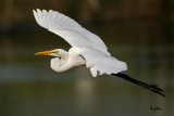 Great Egret (Egretta alba, migrant)   Habitat - Uncommon in a variety of wetlands from coastal marshes to ricefields.   Shooting Info - Sto. Tomas, La Union, Philippines, November 11, 2015, EOS 7D MII + EF 400 DO IS II + EF 1.4x TC III,  560 mm, f/7.1, 1/2500 sec, ISO 320, manual exposure in available light, hand held, near full frame resized to 1575 x 1050.