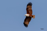 Brahminy Kite (Haliastur indus, resident, adult)   Habitat - Open areas often near water, and also in mountains to 1500 m.   Shooting Info - Sto. Tomas, La Union, Philippines, December 23, 2015, EOS 7D MII + EF 400 DO IS II + EF 1.4x TC III,  560 mm, f/7.1, 1/2000 sec, ISO 320, manual exposure in available light, hand held, major crop resized to 1575 x 1050.
