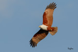 Brahminy Kite (Haliastur indus, resident, adult)   Habitat - Open areas often near water, and also in mountains to 1500 m.   Shooting Info - Sto. Tomas, La Union, Philippines, January 6, 2016, EOS 7D MII + EF 400 DO IS II,  400 mm, f/5.6, 1/2000 sec, ISO 320, manual exposure in available light, hand held, near full frame resized to 1575 x 1050.