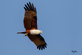 Brahminy Kite (Haliastur indus, resident, adult)   Habitat - Open areas often near water, and also in mountains to 1500 m.   Shooting Info - Sto. Tomas, La Union, Philippines, January 13, 2016, EOS 7D MII + EF 400 DO IS II + 1.4x TC III,  560 mm, f/6.3, 1/2000 sec, ISO 320, manual exposure in available light, hand held, near full frame resized to 1575 x 1050.