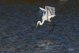 Great Egret (Egretta alba, migrant)   Habitat - Uncommon in a variety of wetlands from coastal marshes to ricefields.   Shooting Info - Sto. Tomas, La Union, Philippines, January 13, 2016, EOS 7D MII + EF 400 DO IS II + 1.4x TC III,  560 mm, f/7.1, 1/2500 sec, ISO 320, manual exposure in available light, hand held, major crop resized to 1500 x 1000.
