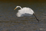 Great Egret (Egretta alba, migrant)   Habitat - Uncommon in a variety of wetlands from coastal marshes to ricefields.   Shooting Info - Sto. Tomas, La Union, Philippines, January 13, 2016, EOS 7D MII + EF 400 DO IS II + 1.4x TC III,  560 mm, f/7.1, 1/2500 sec, ISO 320, manual exposure in available light, hand held, major crop resized to 1575 x 1050.