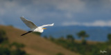 Great Egret (Egretta alba, migrant)   Habitat - Uncommon in a variety of wetlands from coastal marshes to ricefields.   Shooting Info - Sto. Tomas, La Union, Philippines, January 17, 2016, EOS 7D MII + EF 400 DO IS II + 1.4x TC III,  560 mm, f/7.1, 1/2500 sec, ISO 320, manual exposure in available light, hand held, near full frame resized to 1800 x 900.