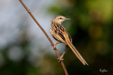 Striated Grassbird (Megalurus palustris, resident)   Habitat - Grasslands, ricefields and open country.   Shooting Info - San Juan, La Union, Philippines, January 24, 2016, EOS 7D MII + EF 400 DO IS II + 1.4x TC III,  560 mm, f/6.3, 1/1600 sec, ISO 320, manual exposure in available light, hand held, major crop resized to 1575 x 1050.