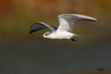 Whiskered Tern (Chlidonias hybridus, migrant, non-breeding plumage)   Habitat - Bays, tidal flats to ricefields.  Shooting Info - Sto. Tomas, La Union, Philippines, January 31, 2016, EOS 7D MII + EF 400 DO IS II + EF 1.4x TC III,  560 mm, f/7.1, 1/2500 sec, ISO 320, manual exposure in available light, hand held, 12 MP crop resized to 1575 x 1050.
