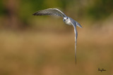 Whiskered Tern (Chlidonias hybridus, migrant, non-breeding plumage)   Habitat - Bays, tidal flats to ricefields.  Shooting Info - Sto. Tomas, La Union, Philippines, February 18, 2016, EOS 7D MII + EF 400 DO IS II + EF 1.4x TC III,  560 mm, f/6.3, 1/2000 sec, ISO 320, manual exposure in available light, hand held, near full frame resized to 1575 x 1050.