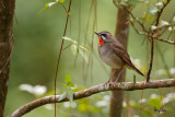 Siberian Rubythroat (Luscinia calliope, migrant, male)