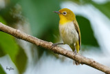 Lowland White-eye (Zosterops meyeni, a near Philippine endemic)   Habitat - Second growth, scrub and gardens.   Shooting info - Bacnotan, La Union, Philippines, June 19, 2016, EOS 7D MII + EF 400 F/4 DO IS II + EF 1.4 TC III,  560 mm, f/5.6, ISO 1250, 1/320 sec, 455B/UBH45 support, manual exposure in available light, near full frame resized to 1500x1000.