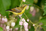 Getting close to an Olive-backed Sunbird