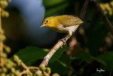 Lowland White-eye (Zosterops meyeni, a near Philippine endemic)   Habitat - Second growth, scrub and gardens.   Shooting info - Bacnotan, La Union, Philippines, July 17, 2016, EOS 7D MII + EF 400 F/4 DO IS II + EF 1.4 TC III,  560 mm, f/5.6, ISO 320, 1/640 sec, 455B/UBH45 support, manual exposure in available light, near full frame resized to 1500x1000.