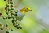 Lowland White-eye (Zosterops meyeni, a near Philippine endemic)   Habitat - Second growth, scrub and gardens.   Shooting info - Bacnotan, La Union, Philippines, August 14, 2016, EOS 7D MII + EF 400 F/4 DO IS II + EF 1.4 TC III,  560 mm, f/5.6, ISO 640, 1/320 sec, hand held, manual exposure in available light, near full frame resized to 1500x1000.