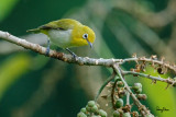 Lowland White-eye (Zosterops meyeni, a near Philippine endemic)   Habitat - Second growth, scrub and gardens.   Shooting info - Bacnotan, La Union, Philippines, August 14, 2016, EOS 7D MII + EF 400 F/4 DO IS II + EF 1.4 TC III,  560 mm, f/5.6, ISO 2500, 1/320 sec, hand held, manual exposure in available light, near full frame resized to 1500x1000.