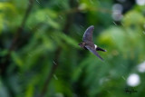 Pygmy Swiftlet (Collocalia troglodytes, a Philippine endemic) 