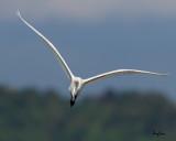 Great Egret (Egretta alba, migrant)   Habitat - Uncommon in a variety of wetlands from coastal marshes to ricefields.  Shooting Info - Sto. Tomas, La Union, Philippines, November 5, 2016, EOS 7D MII + EF 400 DO IS II + EF 1.4x TC III,  560 mm, f/7.1, 1/2500 sec, ISO 320, manual exposure in available light, hand held, near full frame resized to 1500 x 1200.