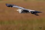 Grey Heron (Ardea cinerea, migrant)   Habitat - Uncommon in wetlands.   Shooting Info - Sto. Tomas, La Union, Philippines, November 10, 2016, EOS 7D MII + EF 400 DO IS II + 1.4x TC III, 560 mm, f/6.3, 1/2000 sec, ISO 320, manual exposure in available light, hand held, near full frame resized to 1500 x 1000.