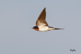 Barn Swallow (Hirundo rustica, migrant)   Habitat - Coast to above the forest in high mountains.   Shooting Info - Sto. Tomas, La Union, Philippines, November 10, 2016, EOS 7D MII + EF 400 DO IS II,  400 mm, f/5.0, 1/2000 sec, ISO 320, manual exposure in available light, hand held, major crop resized to 1500 x 1000.