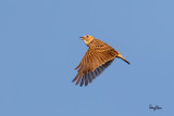 Oriental Skylark (Alauda gulgula, resident)   Habitat - Uncommon in open country on the ground.   Shooting Info - Sto. Tomas, La Union, Philippines, November 13, 2016, EOS 7D MII + EF 400 DO IS II,  400 mm, f/4.5, 1/2000 sec, ISO 320, manual exposure in available light, hand held, major crop resized to 1500 x 1000.