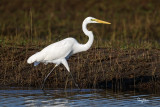 Great Egret (Egretta alba, migrant)   Habitat - Uncommon in a variety of wetlands from coastal marshes to ricefields.   Shooting Info - Sto. Tomas, La Union, Philippines, November 13, 2016, EOS 7D MII + EF 400 DO IS II + EF 1.4x TC III,  560 mm, f/6.3, 1/2000 sec, ISO 320, manual exposure in available light, hand held, uncropped full frame resized to 1500 x 1000.