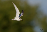 Little Tern (Sterna albifrons, migrant)  Habitat - Uncommon along coasts, bays and river mouths.    Shooting Info - Binmaley, Pangasinan, Philippines, November 30, 2016, EOS 7D MII + EF 400 DO IS II + EF 1.4x TC III,  560 mm, f/7.1, 1/2000 sec, ISO 320, manual exposure in available light, hand held, major crop resized to 1500 x 1000.