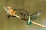 Common Kingfisher - Alcedo atthis