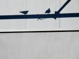 Horny Pigeon
