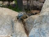 Mayan Palace Pool Iguana