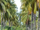Stone Island Palm Plantation