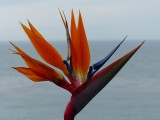 Swami's bird of paradise flower