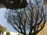 Pacific Street Tree