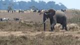 Elephant near a Maasai Village