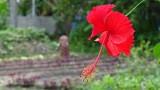 Kerala Hibiscus
