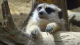 Smithsonian's National Zoo Meerkat