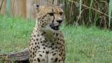 National Zoo Cheetah