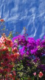 Bougainvillea, Blue Wall