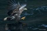 Sea Eagle Fishing in the Fjord