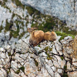 Ibex Resting on a Mountain Cliff, Switzerland