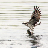 Osprey Catching a Bass Lake Champlain, Vermont