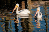 2 White Pelican n Reflections