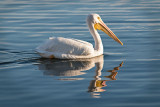 White Pelican n Reflection