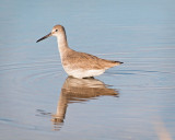 Willet Reflects
