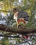 eagles_hawks_ospreys