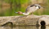Northern Pintail, Canard pilet (Anas acuta)