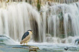 Bihoreau gris, Black-crowned Night Heron ( Nycticorax nycticorax )